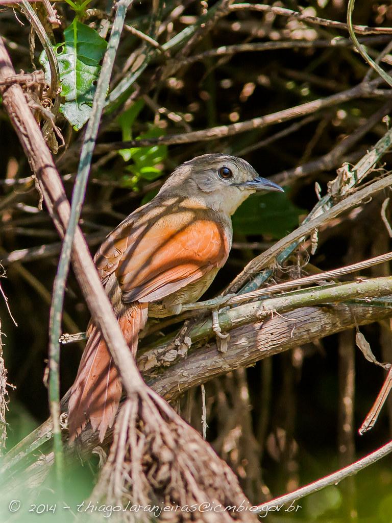 João-teneném-becuá - Synallaxis gujanensis - Plain-crowned Spinetail