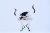 鶴の舞 - Dance of the Red-crowned Cranes by heng.steven