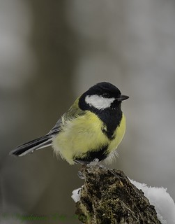 The Great Tit (Parus major) Parikkala, East Finland | by Esko Veijalainen