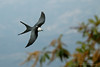 Swallow-tailed Kite, Costa Rica by www.NeotropicPhotoTours.com