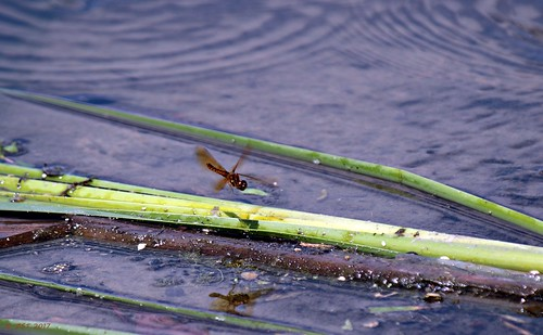 containmentpond dragonfly easternamberwing insect nature naturewalk perithemistenera sterlingridge texas thewoodlands viewsoftexas zeesstof