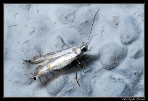 Phyllocnistis sp. (Phyllocnistis saligna ?)