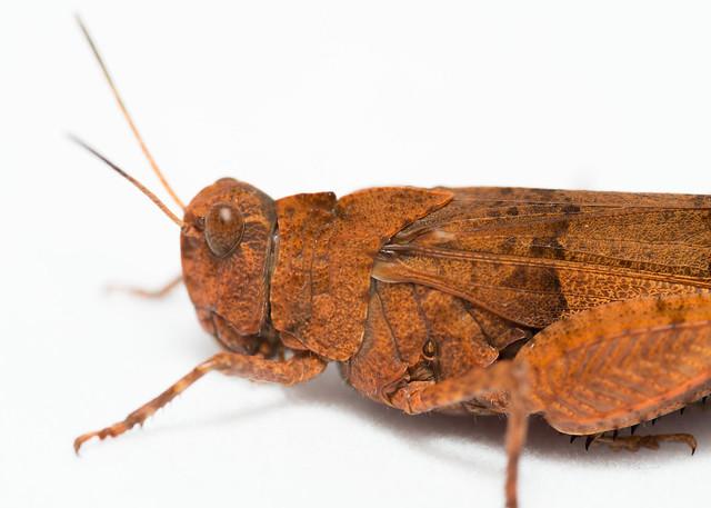 Avant de criquet - Oedipoda caerulescens