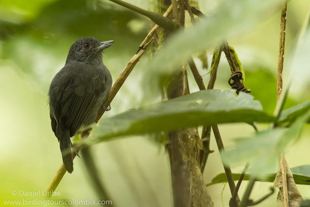 Plain-winged Antshrike (male) / Thamnophilus schistaceus / Batará Pizarra