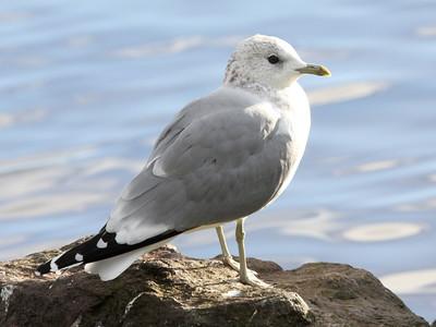 Common Gull; Larus canus