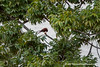 Madagacar Kestrel (Falco newtoni newtoni) feeding DSC_4230 by fotosynthesys