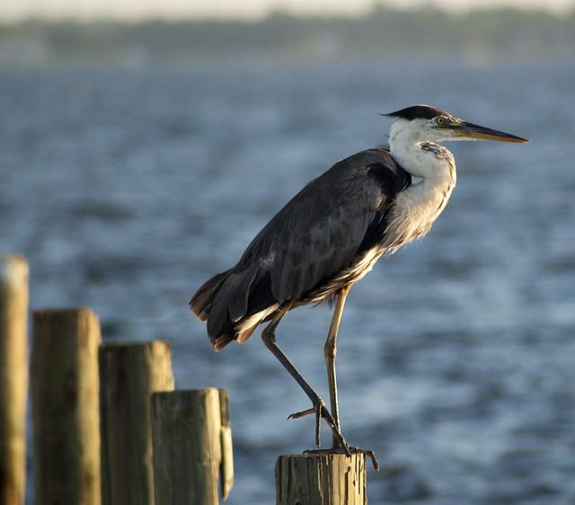 Great Blue Heron (Ardea herodias) {Explore}