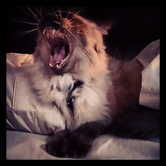 Ars Gratia Artis: Taco doing his impersonation of Leo, the MGM lion...