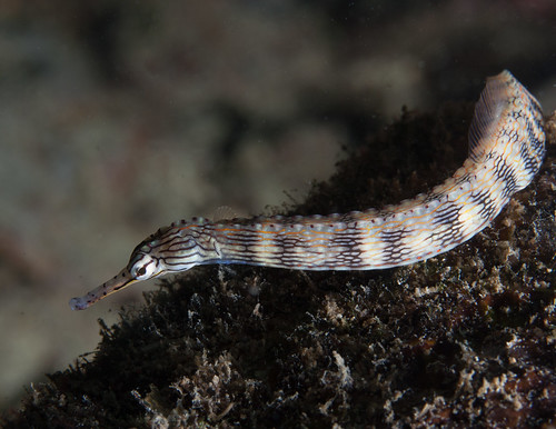Pipefish | by Jayvee F.