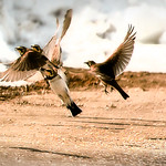 Snow Buntings Fly With The Larks2