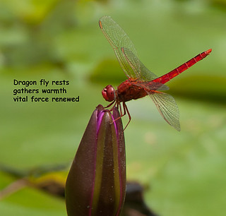 Dragon fly rests....