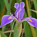 Savanna Iris - Photo (c) Mary Keim, some rights reserved (CC BY-NC-SA)