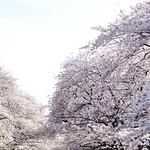 Cherry Blossoms - Spring - Ueno Park - Tokyo