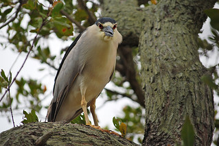 Black-crowned Night Heron | by RuudVisser