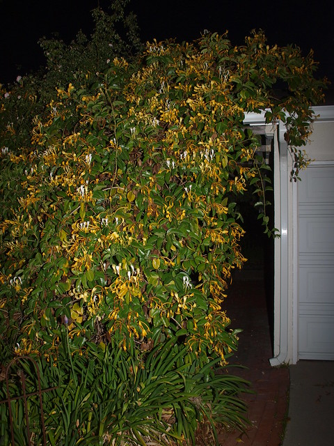 M5188095 giant honeysuckle front goleta