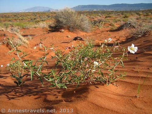 Wildflowers in the desert of Glen Canyon National Recreation Area, Utah