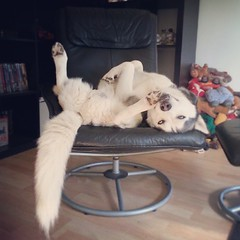 Comfy? Why yes, thanks! Lazy Sunday chair snoozing. #caleb #husky #lazy #sunday #chair #snooze #snoozing