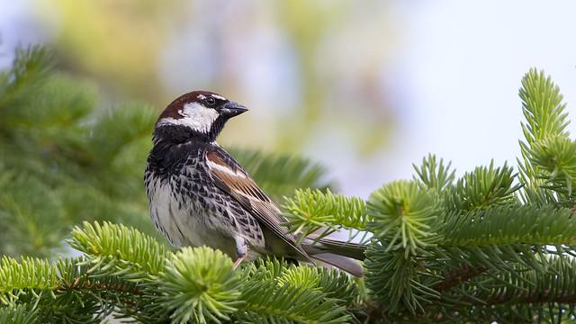 Söğüt serçesi (Passer hispaniolensis), Spanish sparrow
