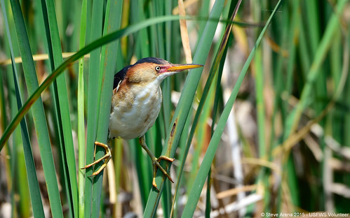 Male Least Bittern (Ixobrychus exilis) straddling the cattails | by U. S. Fish and Wildlife Service - Northeast Region