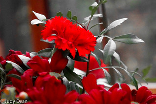 Red carnation | by judy dean
