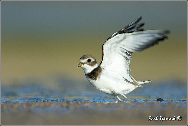 Semipalmated Plover (130919-2323)