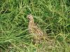 common quail by simon tull