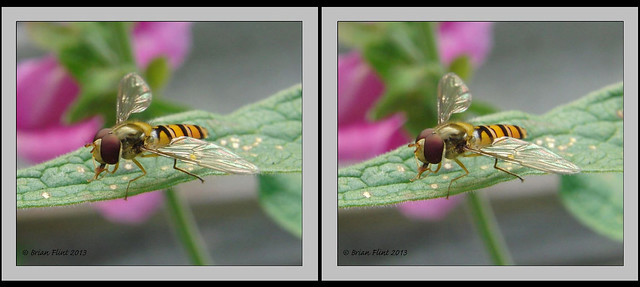 Hoverfly - 3d crossview