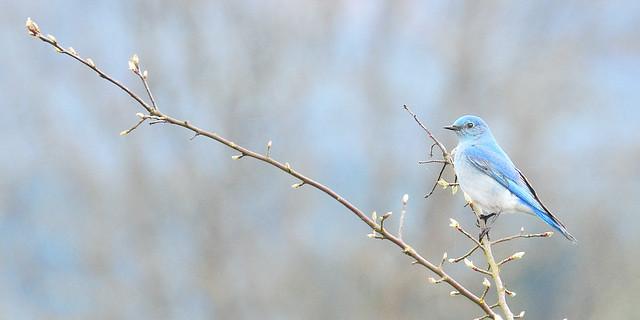 mountain bluebird . . .