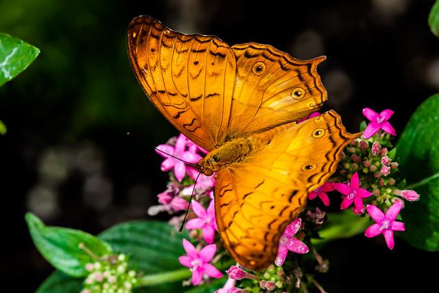 Vindula dejone butterfly (Male)