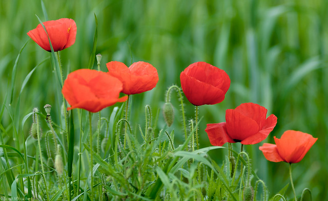 A sixtuplet of red poppies