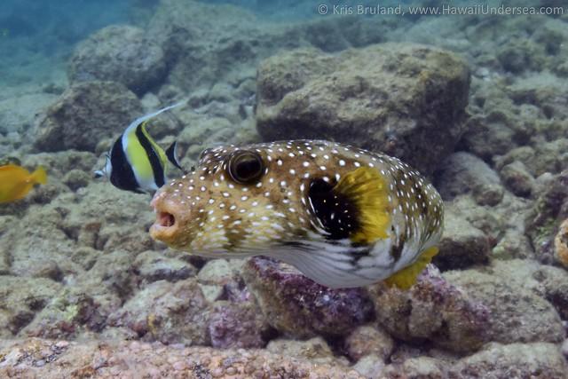 stripebelly pufferfish: Arothron hispidus