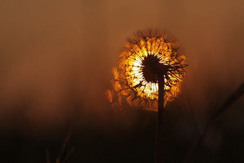 sunset woking surrey dandelion