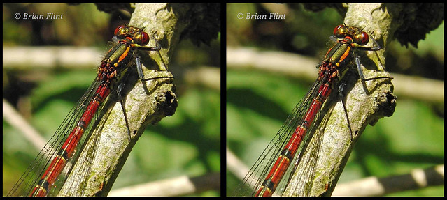 Large Red Damselfly - 3d crossview