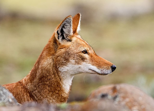 Il lupo abissino,antichissimo progenitore del Cirneco dell'Etna.