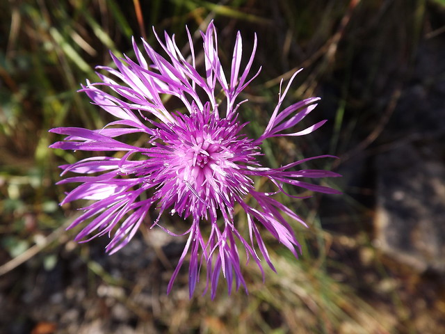 DSCF6412 il sole all'Aga del muscle (EXPLORE!!!) Centaurea jacea