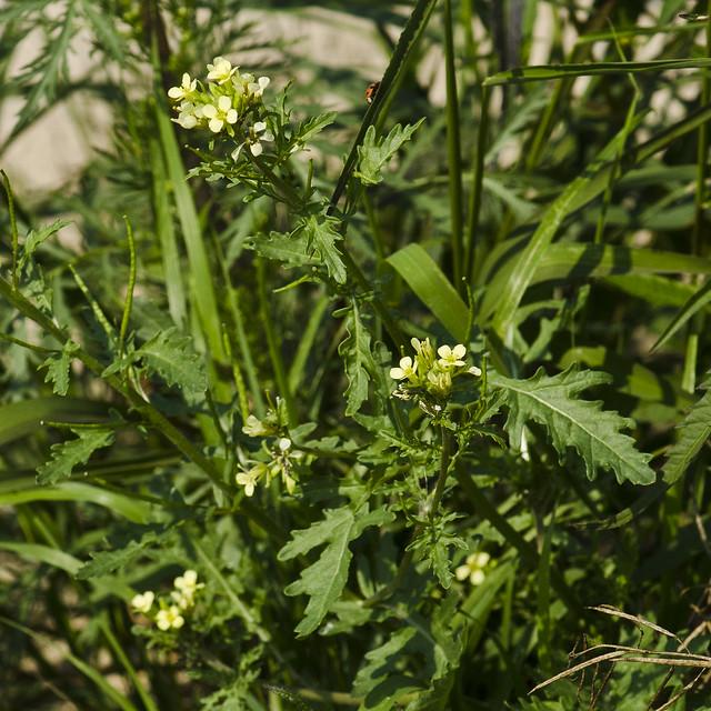 Erucastrum gallicum (Dog Mustard) -- Brassicaceae