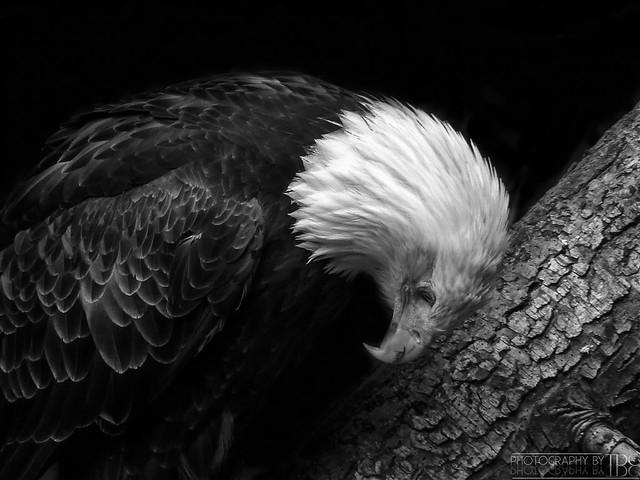 Bald Eagle (Seattle Zoo) Rehabilitation