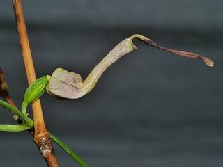 Little dutchmans pipe vine Aristolochia thozettii Aristolochiaceae Shute Harbour Airlie Beach P1020191