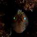 horned blenny & eyeshine by AlistairKiwi