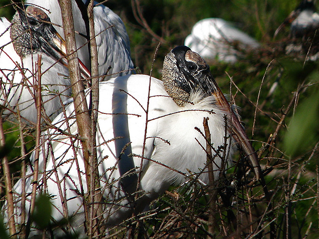 Woodstork at Rookery in Port Richey, FLorida