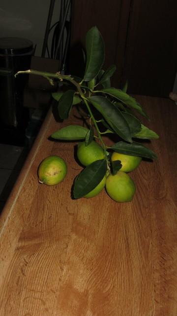 IMG_8612 bearss lime branch broken off