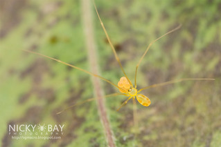Daddy Long Legs Spider (Belisana sp.) - DSC_8120