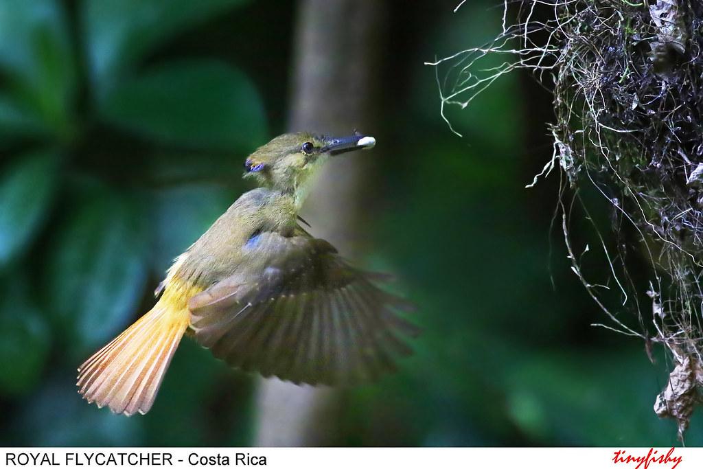 (521a) Northern Royal Flycatcher - [ Carara NP. Costa Rica ]