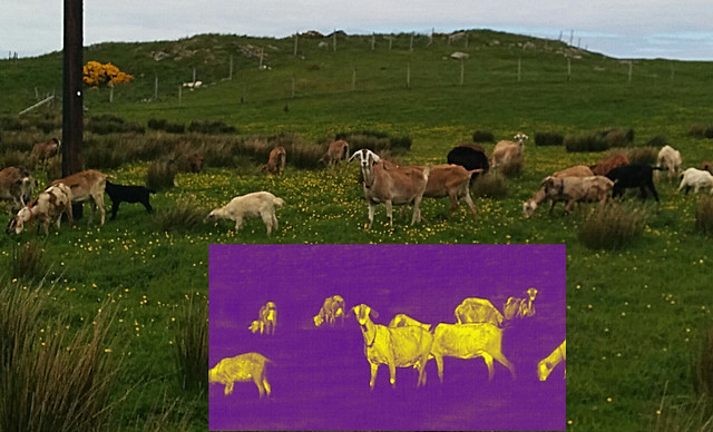 Herd of goats, visible and thermal