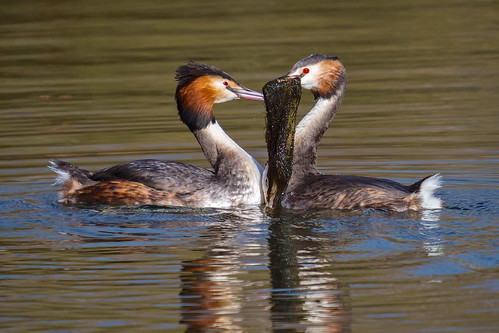 greatcrestedgrebe podicepscristatus mating courtshipritual nature wildlife winter spring reflections sunlight waterbirds blue green orange red grey yellow black white olympus em1mkll 100400mm panasonic marinalake colwickpark nottingham klythawk