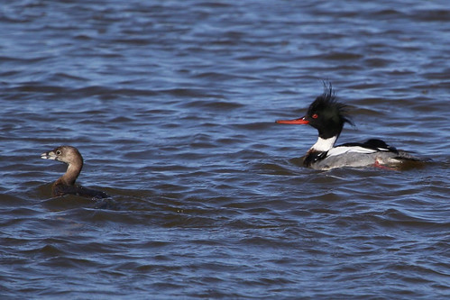 Pied-billed Grebe & Red-breasted Merganser | by gregpage1465