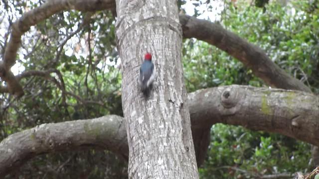 MVI_0150 130615 acorn woodpecker Stow House Goleta 10s