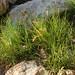 Flickr photo 'Desert saltgrass' by: Tony Frates.