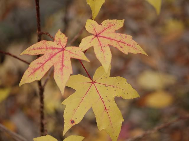 日, 2013-11-03 13:27 - Bronx Botanical Gardenの紅葉