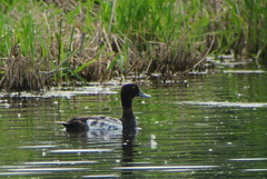Greater Scaup, 6/26/2013, Westchester Lagoon, AK